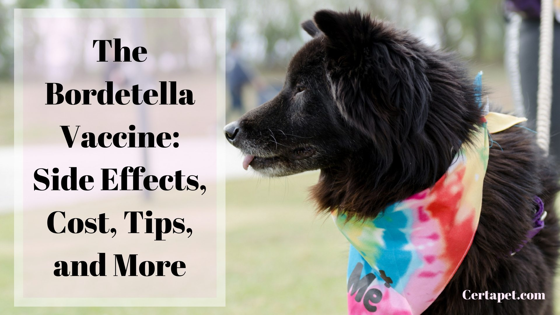 The Bordetella Vaccine Side Effects Cost Tips And More Certapet