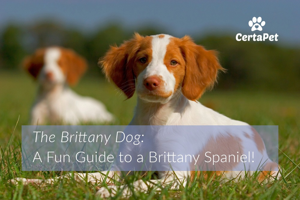 the brittany dog