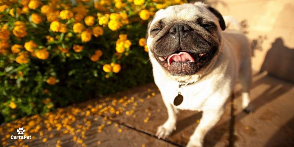 emotional support law fair housing act happy pug