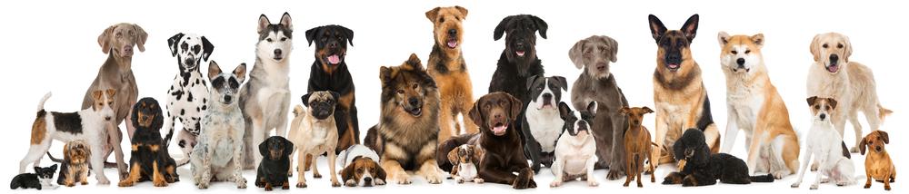 bipolar service dog breeds