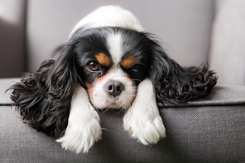 cavalier king charles spaniel service dog breeds