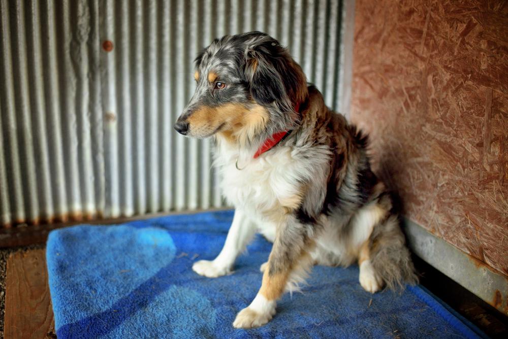 australian shepherd service dog adoption